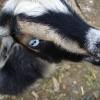 Goat Eye (2010)
