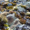 Mosses and Lichens (2012) 1/2